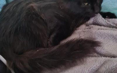 Diabolo 4 mois, joli chaton au poils mi long